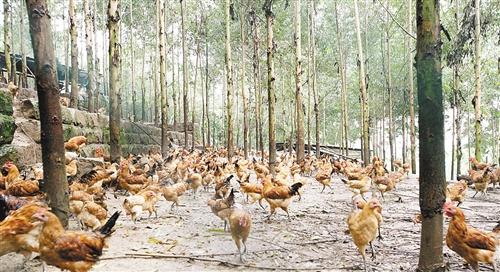 延长养鸡产业链