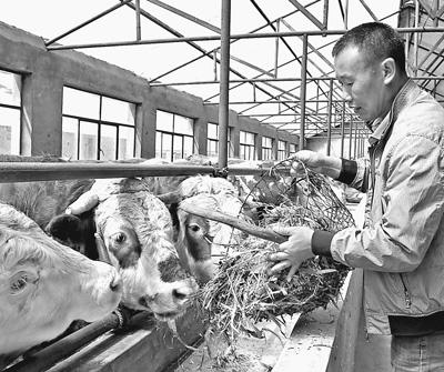 """内蒙古科尔沁左翼后旗:""""黄牛之乡""""话""""牛经"""""""