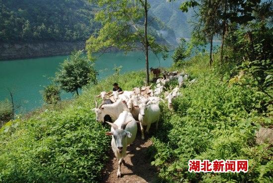 """清江岸边发""""羊""""财"""