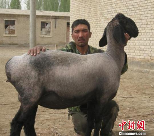 新疆兵团职工养殖33只刀郎羊