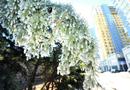 撞断消防栓喷泉冲高七米 松树洗澡结冰挂(图)
