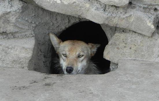 尔牧民捕获的母狼