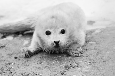 海豹是一种神奇而可爱的动物.