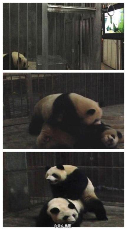 胖老女人性交视频_成都发情大熊猫不懂房事 看交配视频成功圆房