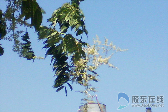 胶东在线网6月13日讯(通讯员 刘国利 原晓杰)莱州市文昌路街道东关居民王先生老宅院子里的一棵雄性香椿树近日开花。花间蜜蜂飞来飞去,远看就像南方八月的桂花。   香椿树是一种雌雄异株的落叶乔木,按照正常生长速度,雌性香椿树一般要生长七八年以上,才能开花结果。而王先生老宅院子里的这棵香椿树为雄性,树龄已有40多岁,其周围再没有香椿树,今年竟然变性开花实属罕见。