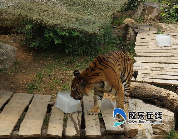 而烟台动物园的动物们却在这样的天气里找到了另一种