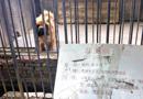 动物园用藏獒冒充狮子被识破后闭园整顿(图)