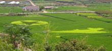 农民在稻田种出党徽五角星图案