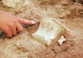 莱阳恐龙发掘现场趣闻:恐龙小趾骨堪比人类拳头