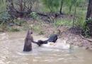 德国獒犬与袋鼠打架 头被袋鼠强按水中(组图)