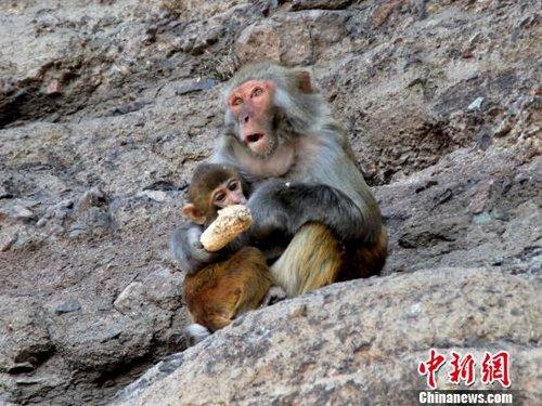 河北野生猕猴群下山觅食 景区准备充足食物