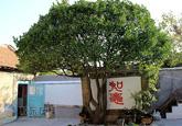"""45年老冬青5米多高 """"伞""""状树形直径4米(图)"""