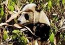 野生大熊猫玉米地觅食 见人拍照眼神萌呆(图)