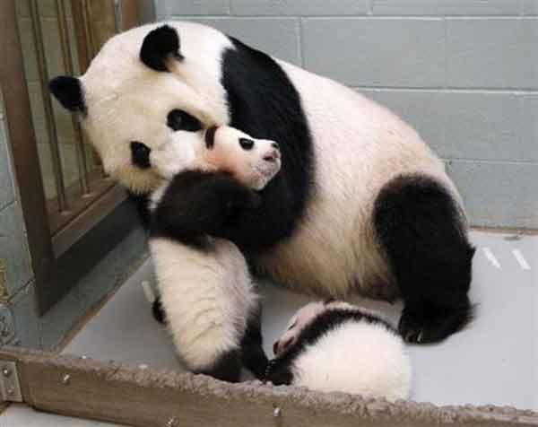 美国动物园3年后发现弄错熊猫性别