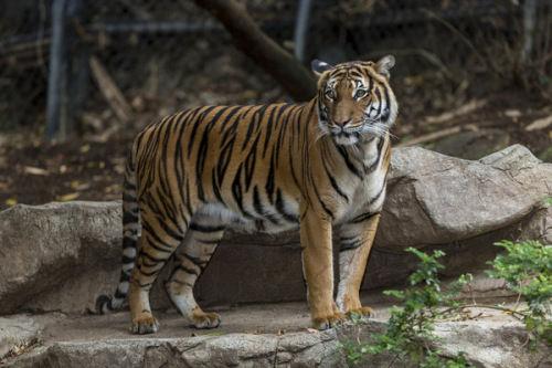 动物园安排老虎交配 公老虎咬死母老虎(图)