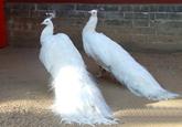 白孔雀贺新年 蓬莱景区迎新春添加灵动元素(图)