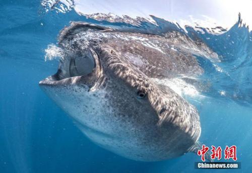 鲸鲨大嘴捕食似宇宙黑洞 潜水者险被吸入(图)