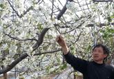 大棚樱桃开花了(图)