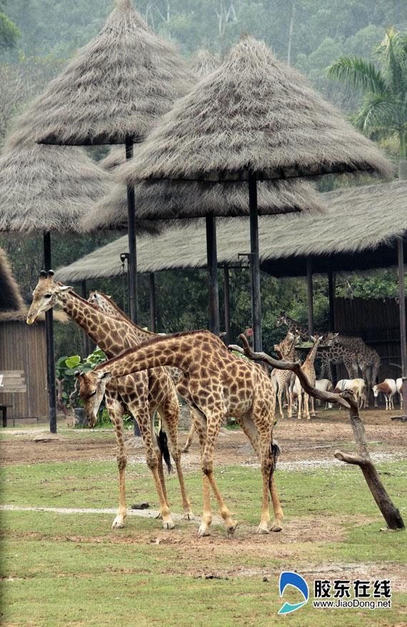 长隆野生动物园长颈鹿