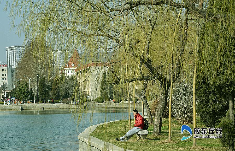 大学校园内的柳树发芽吐绿