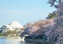 美国樱花节如期举行 首都华盛顿成花海(组图)