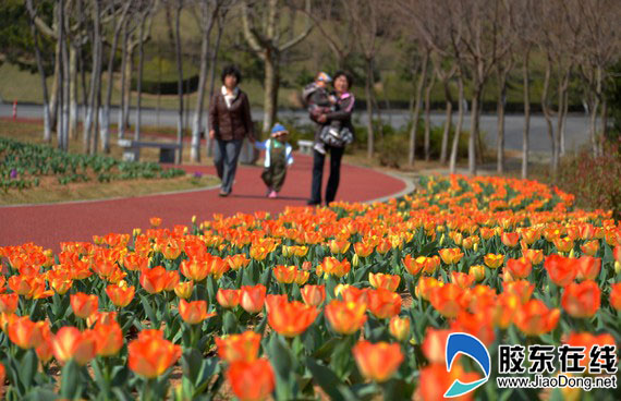 烟台海边郁金香提前绽放 滨海路两公园免费开放