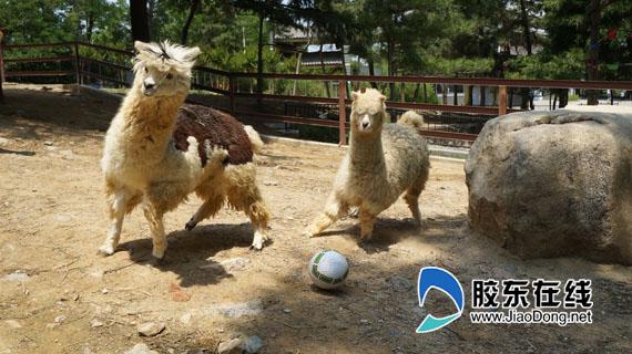 """了一场场""""动物世界杯""""足球赛并以此向巴西世界杯致敬"""