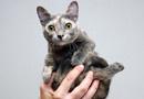 世界最小猫咪萌化众人 身高仅13厘米