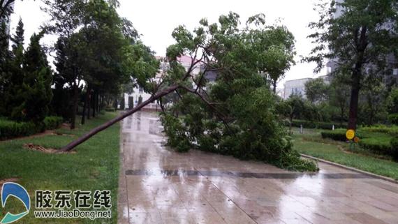 今晨莱山某小区内树木被刮倒(网友供图)