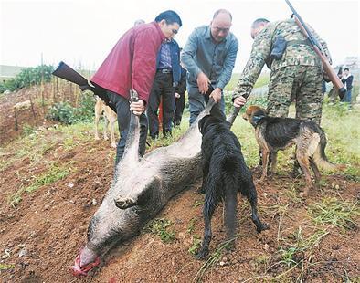 200斤野猪激战5猎狗 咬死1条后被猎人击毙(图)