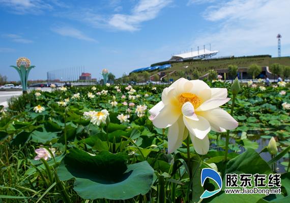 清岛体育场内,有一处亚沙水生植物园,每年夏季,这里的千余种睡莲荷花