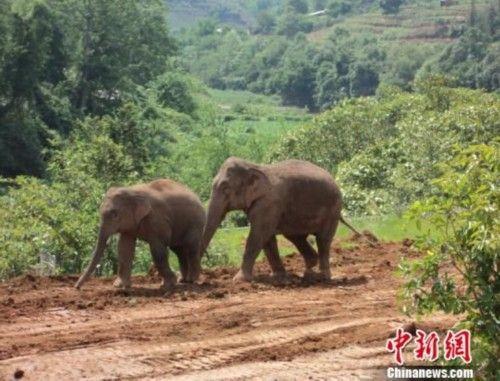 亚洲象是地球上仅次于非洲象的第二大陆生动物