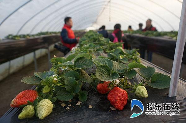 高产草莓苗