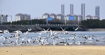 辛安河大桥海鸥聚集 或觅食或戏水仪态万方