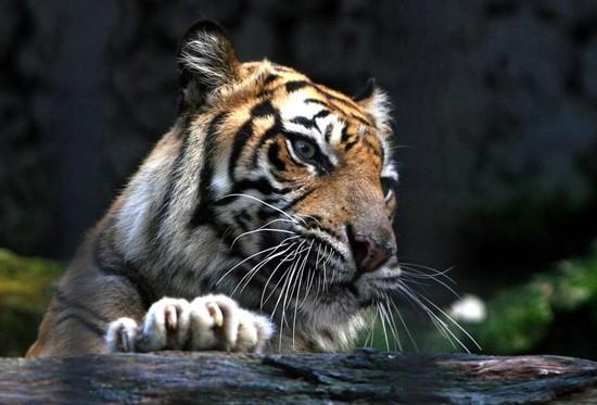 印度尼西亚泗水动物园里极度濒危的苏门答腊虎.