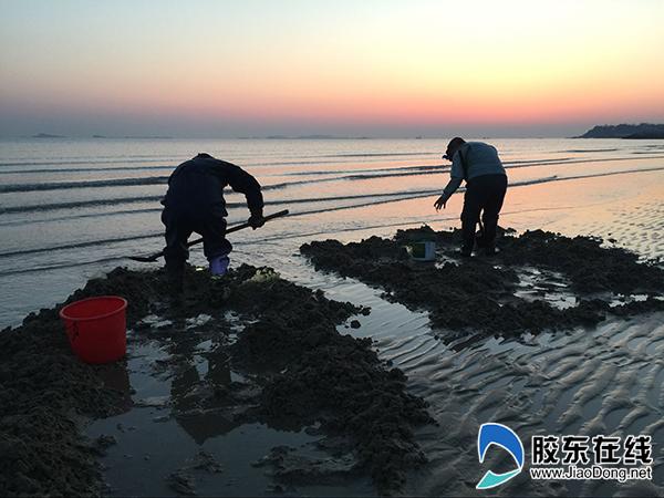 退潮啦!海边挖海蛏子的人收获满满(组图)