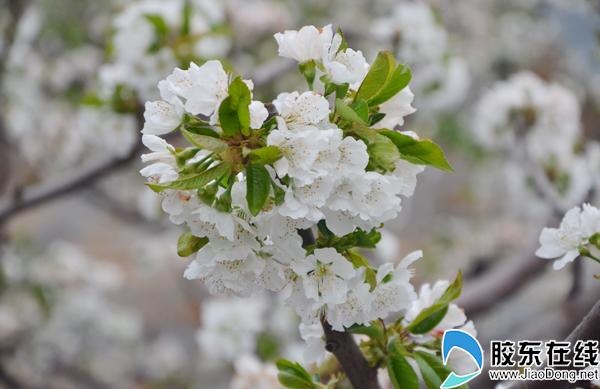 烟台大棚樱桃花开满枝