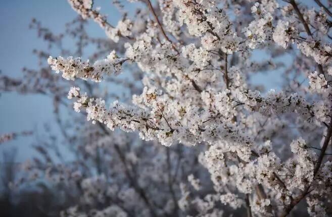 龙湖海岸樱花唯美绽放