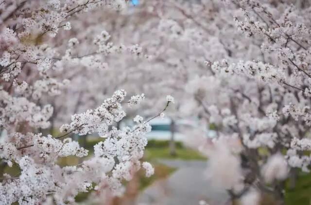 烟台人游烟台暨2018龙湖国际海岸樱花节即将开启