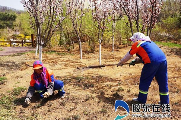 园林绿化养护人员正在烟台植物园清理枯枝落叶