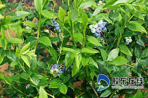 园区采取原生态蓝莓种植,施农家肥,杜绝一切农药喷洒_副本