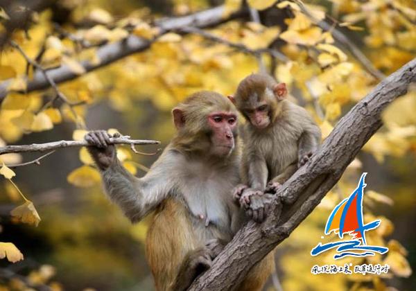 猕猴为花果山增添了灵动的风景