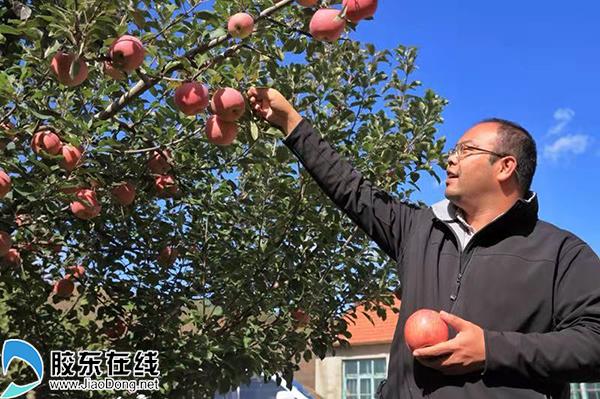 烟台市抱朴果蔬专业合作社负责人丛冬日在采摘苹果
