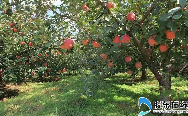 丛东日农场里种植的苹果