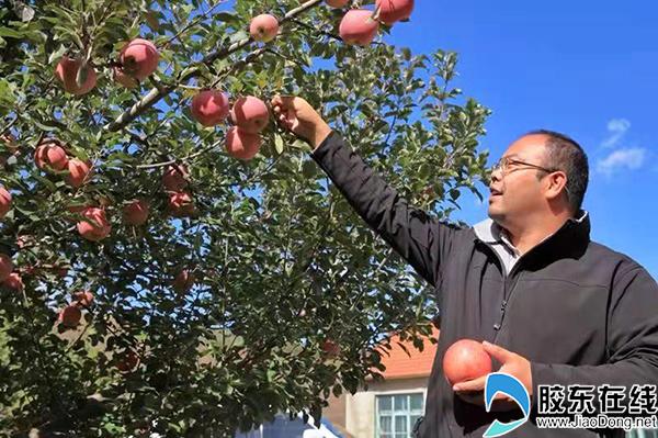 丛东日在采摘苹果