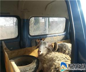 面包车拉羊上高速 蓬莱高速交警查处