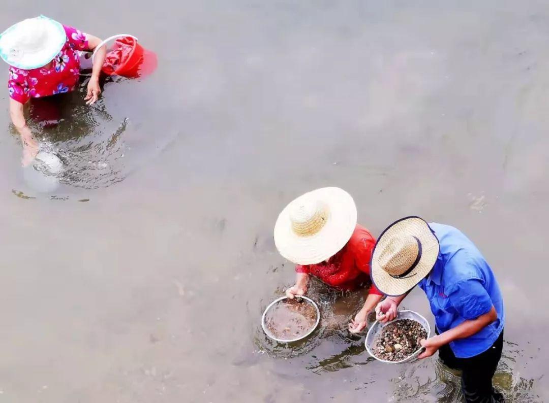 青岛人挖蛤蜊放大招了:耙子、漏盘都用上了…