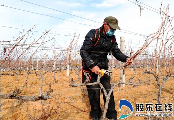 蓬莱果农剪枝忙(组图)社会新闻蓬莱 | 20-02-27 17:47 胶东在线