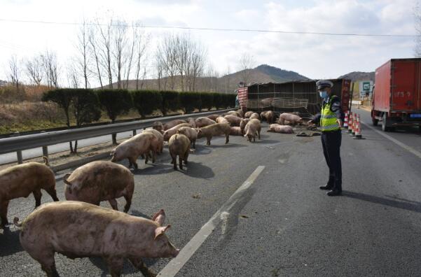 满载生猪的大货车侧翻后碰撞护栏